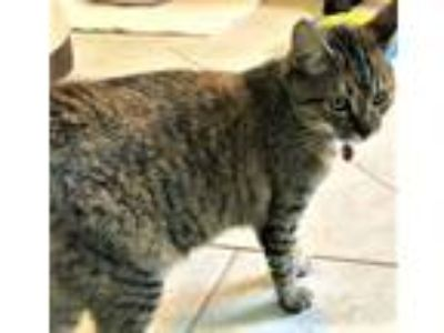 Adopt Phoenix a Gray, Blue or Silver Tabby Domestic Shorthair (short coat) cat