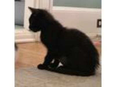Adopt Lobster a All Black Domestic Shorthair / Domestic Shorthair / Mixed cat in