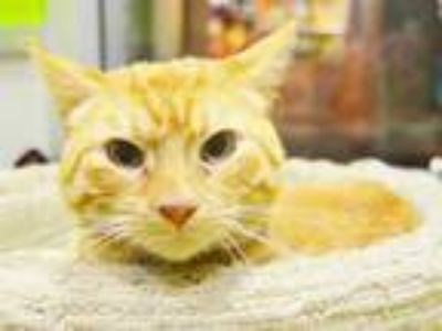 Adopt a Orange or Red Domestic Shorthair / Mixed (short coat) cat in Sacramento