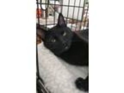 Adopt Frankie a All Black American Shorthair (short coat) cat in Nuevo