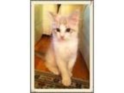 Adopt Max2 a Tan or Fawn (Mostly) Domestic Shorthair / Mixed (short coat) cat in