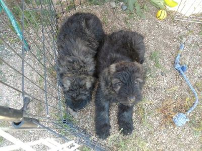 Bouvier Des Flandres PUPPY FOR SALE ADN-95590 - Brindle Bouvier De Flandres Puppies