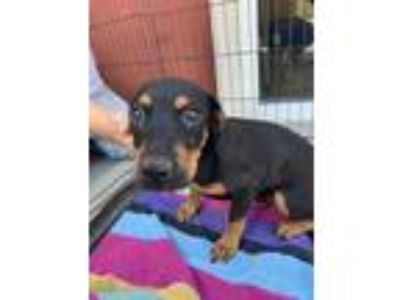 Adopt pito a Black Terrier (Unknown Type, Small) / Mixed dog in St.