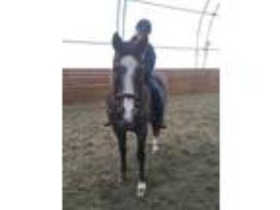 Adopt HUNTER a Roan Quarterhorse / Mixed horse in Methuen, MA (23908614)