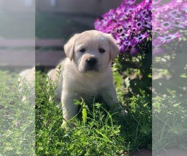 Labrador Retriever PUPPY FOR SALE ADN-119950 - Gorgeous Labrador Puppies