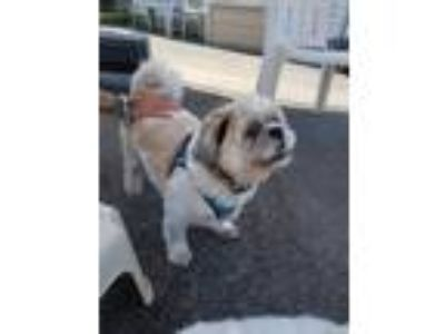 Adopt Louie and Gucci a Shih Tzu