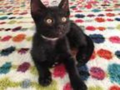 Adopt WESLEY a All Black Domestic Shorthair / Mixed (short coat) cat in
