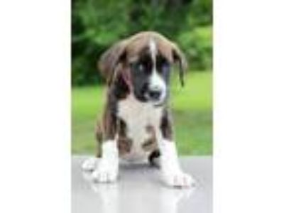 Adopt Parker a Brindle - with White Boxer / Mixed dog in Waldorf, MD (25594575)