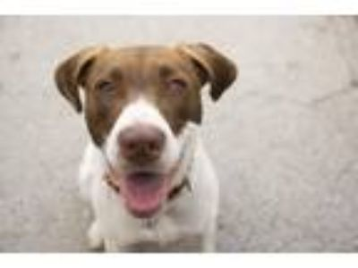 Adopt Doofus Denim a German Shorthaired Pointer, Mixed Breed