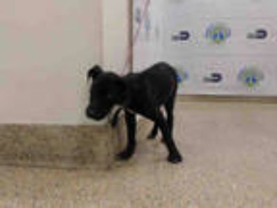 Adopt FIFI a Black - with White Labrador Retriever / Mixed dog in Doral