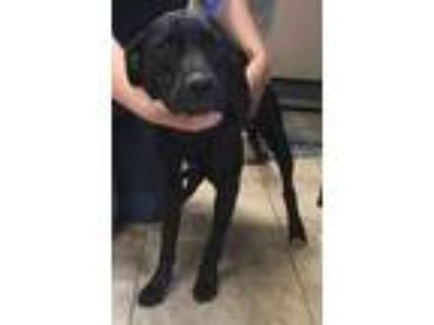 Adopt Sierra a Black Mixed Breed (Large) / Mixed dog in St.
