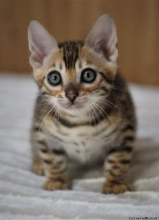 Neutered Male Bengal Kitten Up For Adoption
