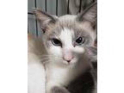 Adopt Iris a Siamese cat in Acworth, GA (24016647)