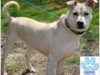 Adopt LASSIE a Tan/Yellow/Fawn Labrador Retriever / Mixed dog in Franklin