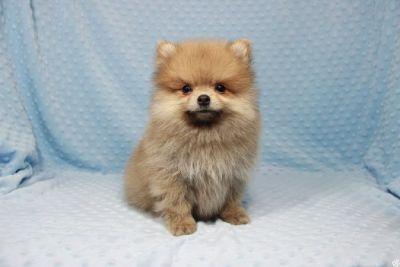 Tiny Teacup Pomeranian Puppies in Las Vegas!