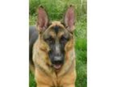 Adopt Shiloh a Black - with Tan, Yellow or Fawn German Shepherd Dog / Mixed dog
