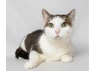 Adopt Erma a Domestic Short Hair