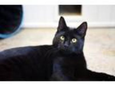 Adopt Bart with Biddy a Domestic Short Hair
