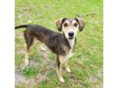 Adopt Abigail a Greyhound, Labrador Retriever