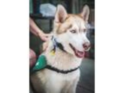 Adopt Courtesy Post: Lobo a Husky