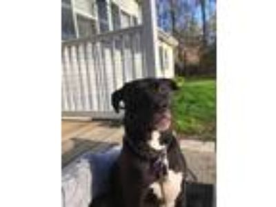 Adopt Emma a Pit Bull Terrier / Mixed dog in Barrington, RI (23139354)