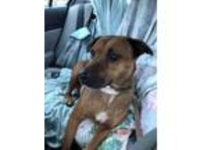 Adopt Sophie a Black Mouth Cur / Labrador Retriever dog in Gilbertsville