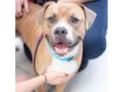 Adopt Zeus a Pit Bull Terrier, Mixed Breed