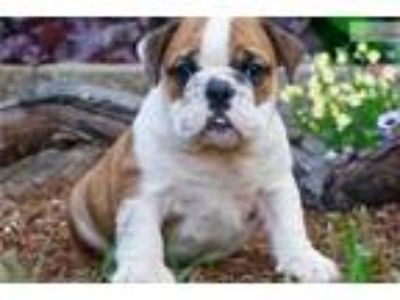 Mattie Adorable AKC English Bulldog Puppy Ready !