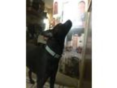 Adopt Billy a Black Labrador Retriever / Dachshund dog in Broken Arrow