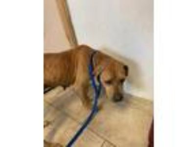 Adopt Linda a Brown/Chocolate Mixed Breed (Large) / Mixed dog in St.
