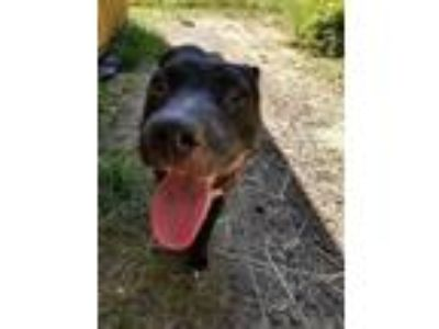 Adopt Ruby a Pit Bull Terrier, Whippet