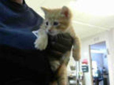 Adopt SAFFRON a Orange or Red Domestic Shorthair / Mixed (short coat) cat in