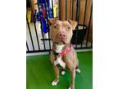 Adopt Hazel a Pit Bull Terrier, Mixed Breed