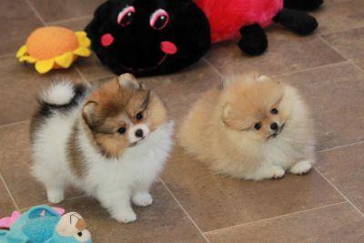 Char's Pomeranians