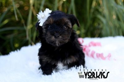 Yorkshire Terrier PUPPY FOR SALE ADN-105114 - Pepper
