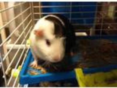 Adopt OREO a Black Guinea Pig / Mixed small animal in Chapel Hill, NC (25303429)