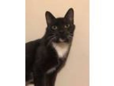 Adopt Macaroon a Black & White or Tuxedo Domestic Shorthair (short coat) cat in