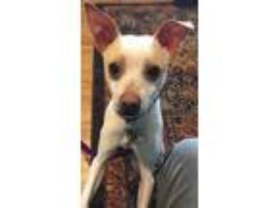 Adopt King Louie a White - with Tan, Yellow or Fawn Jack Russell Terrier /