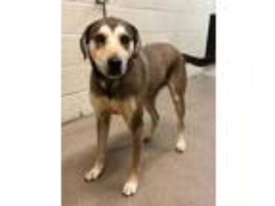 Adopt Marley a Brown/Chocolate Shepherd (Unknown Type) / Mixed dog in Pickens