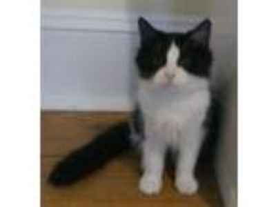 Adopt Maxine a Domestic Long Hair