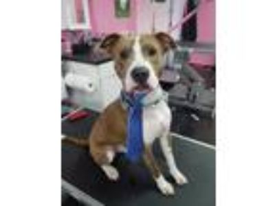 Adopt Butch a Brindle - with White American Staffordshire Terrier / Mixed dog in