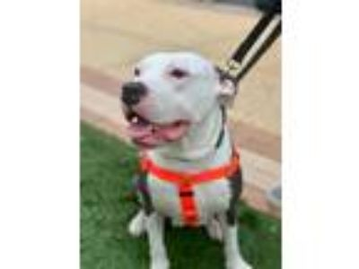Adopt Blossom a Gray/Silver/Salt & Pepper - with White American Staffordshire