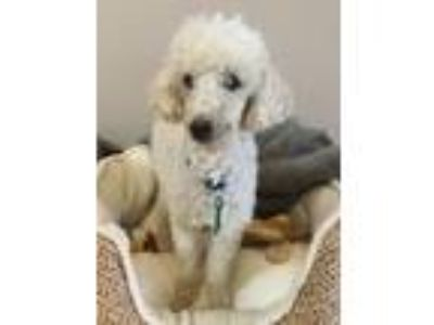 Adopt Toby a White Poodle (Toy or Tea Cup) / Mixed dog in Sugar Grove