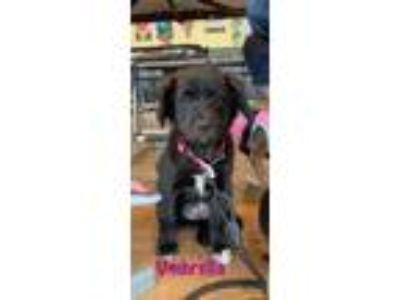 Adopt Umbrella a Black Australian Shepherd / Shar Pei / Mixed dog in Elgin