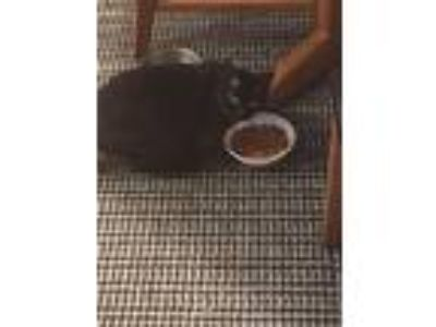 Adopt Squeeker a All Black Domestic Shorthair / Mixed cat in Sterling Heights
