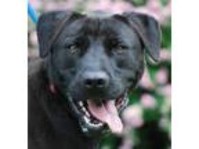 Adopt Shadow a Black Labrador Retriever