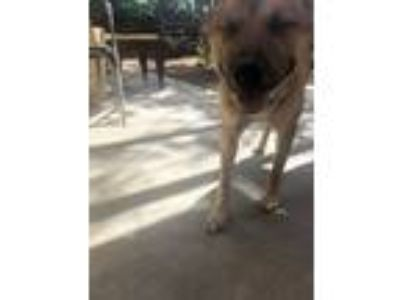 Adopt kujo a Red/Golden/Orange/Chestnut German Shepherd Dog / Terrier (Unknown