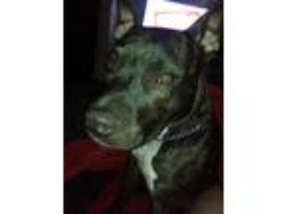 Adopt Emma a Brindle Bull Terrier / Mixed dog in Batavia, OH (25326714)