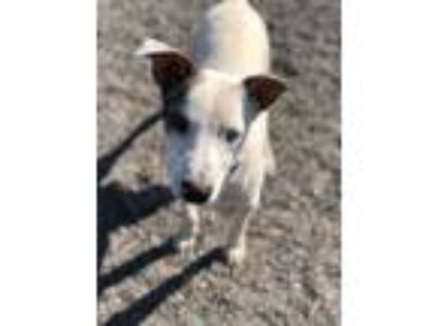Adopt Patch a Jack Russell Terrier