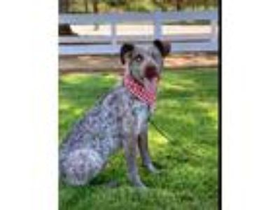Adopt Chipper a German Shorthaired Pointer